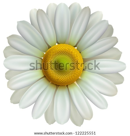 Chamomile flower isolated on white background.