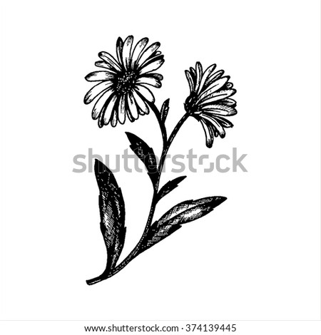 chamomile flowers with leaves, hand drawn vintage vector illustration