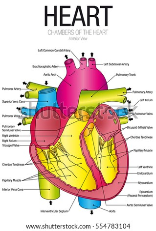 Chart Heart Anterior View Parts Name Stock Vector 554783104