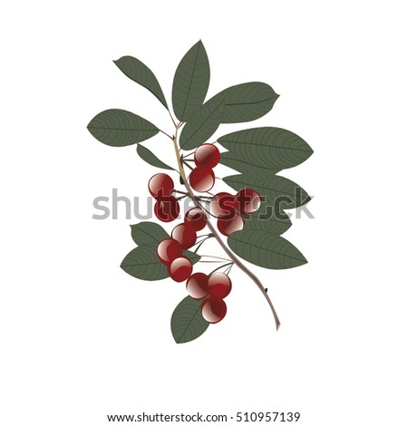 cherries on a branch with leaves abstract art creative illustration of isolated on white background vector