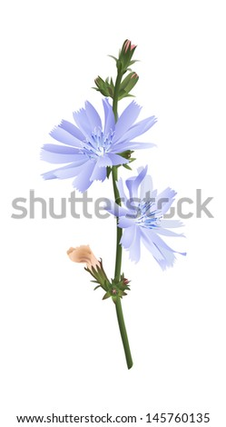 Chicory flower isolated