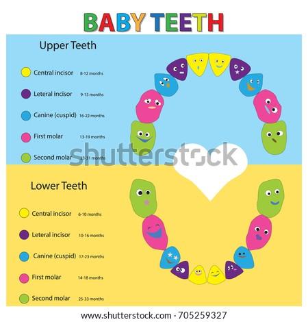 Children Teeth Anatomy Dental Teeth Chart Stock Vector Hd Royalty