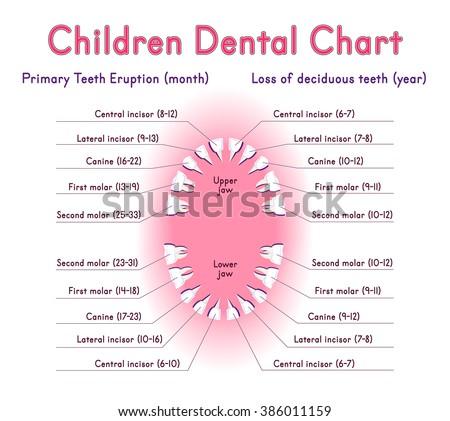 Adult Dental Chart Diagram Human Teeth Stock Vector
