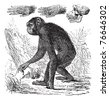 Chimpanzee or Pan troglodytes, vintage engraving. Old engraved illustration of a Chimpanzee. Trousset encyclopedia. - stock vector
