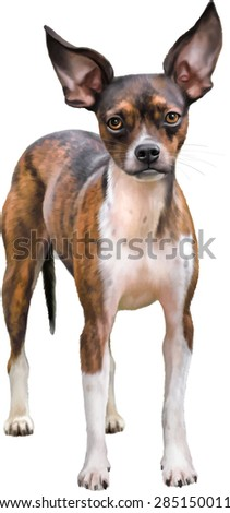 chocolate brindle and white chihuahua dog isolated on white background. Vector