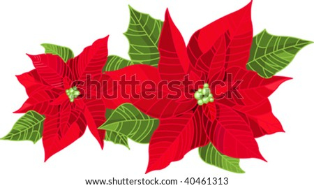 Christmas decoration poinsettia flower (Euphorbia pulcherrima) isolated on pure white.