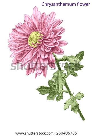 Chrysantemum flower. Hand drawn. - stock vector