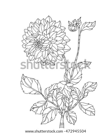 chrysanthemum flower vector artwork coloring book page for adult black and white line - Chrysanthemum Book Coloring Pages