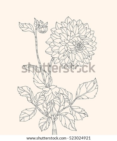 chrysanthemum flower vector artwork coloring book page for adult black line beige - Chrysanthemum Book Coloring Pages