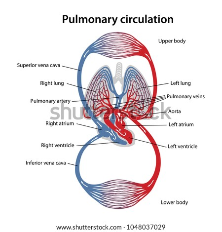 Pulmonary Circulation Stock Images, Royalty-Free Images ...
