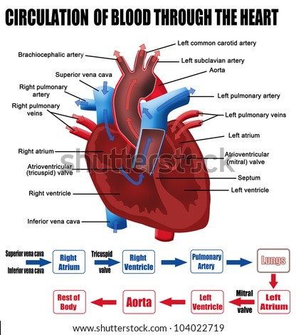 Circulation of blood through the heart (for basic medical education, for clinics & Schools), vector illustration - stock vector