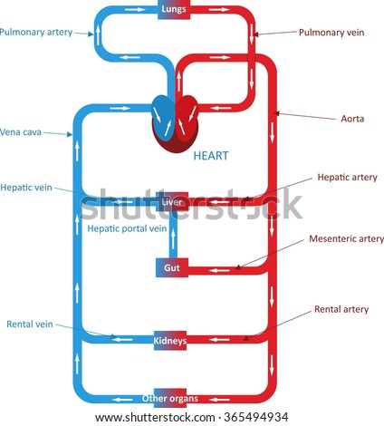 Circulatory System Stock Vector Royalty Free 365494934 Shutterstock