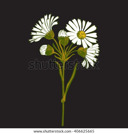 Closeup isolated blooming green floral white spring eco flower organic line leaf vector botanical curve symbol botanic summer pen drawing paint black vertical daisy chamomile ink illustration stem - stock vector