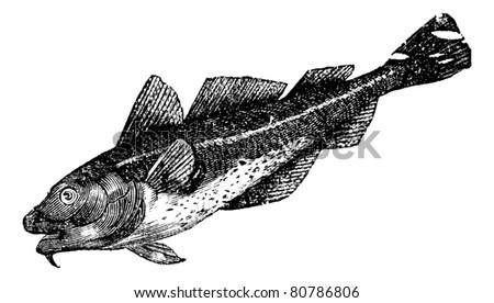 Cod america (morrhua americana), vintage engraved illustration. Trousset encyclopedia (1886 - 1891). - stock vector