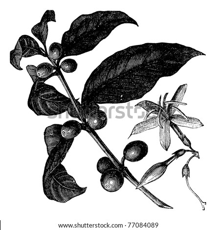 Coffea, or Coffee shrub and fruits, vintage engraving. Vintage engraved illustration of Coffee, seed, fruit and flower isolated against a white background. Trousset encyclopedia. - stock vector