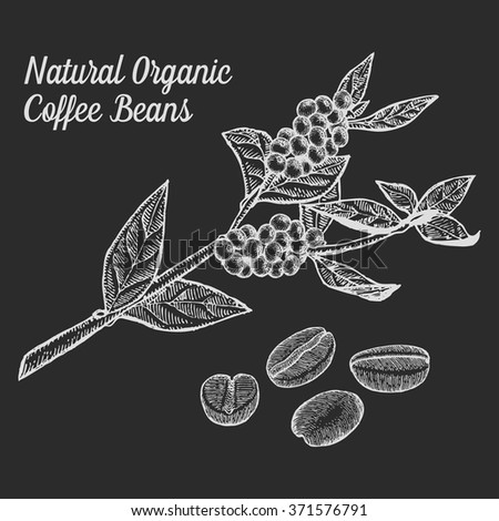 Coffee branch. Coffee plant with coffee leaf, coffee berry, coffee bean,coffee fruit, coffee seed. Coffee Natural organic caffeine drink. Coffee Hand drawn vector illustration cofe on white background - stock vector
