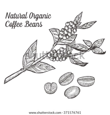 Coffee branch. Coffee plant with coffee leaf, coffee berry, coffee bean,coffee fruit, seed.  Natural organic caffeine. Hand drawn vector illustration coffe on. Green coffee, luwak - stock vector