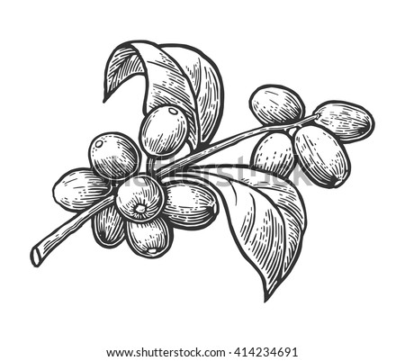 Coffee branch, plant with leaf, berry, fruit and seed. Natural caffeine drink. Vector vintage drawn engraving illustration on white background for shop and cafe - stock vector