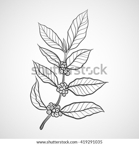 Coffee plant with coffee leaf - stock vector