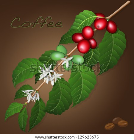 Coffee tree branch and coffee beans - stock vector