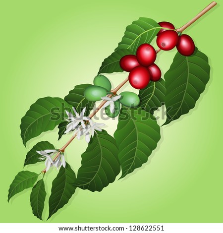 Coffee tree branch with flowers and berries - stock vector