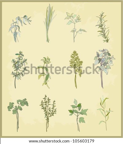 Collection of fresh herbs. Illustration spicy herbs. - stock vector
