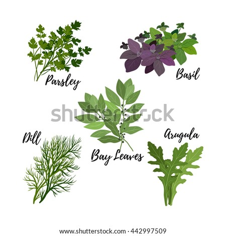 Collection of fresh herbs isolated: bay leaves, arugula,basil,parsley and dill. Kitchen herbs on a white background, vector illustration. - stock vector