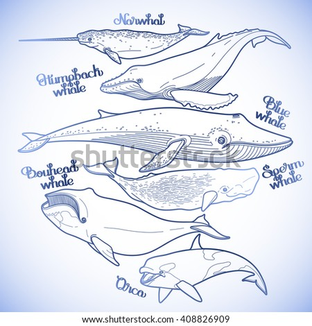 Collection of graphic whales isolated on white background. Vector giant sea and ocean creatures in blue colors. Coloring book page design - stock vector