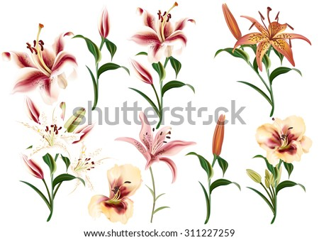 Collection of realistic and beautiful vector lily flowers in watercolor style - stock vector