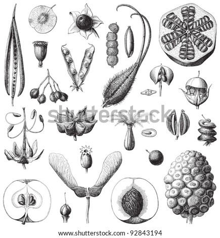Collection of seeds / vintage illustration from Meyers Konversations-Lexikon 1897 - stock vector