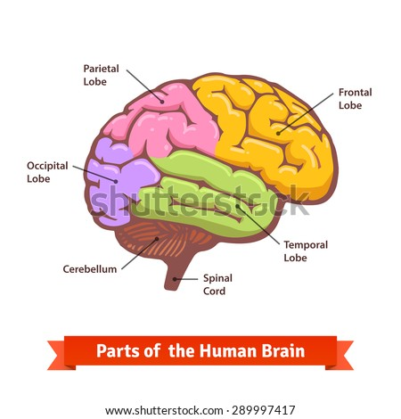 Colored labeled human brain diagram flat stock vector 289997417 colored labeled human brain diagram flat stock vector 289997417 shutterstock ccuart Choice Image