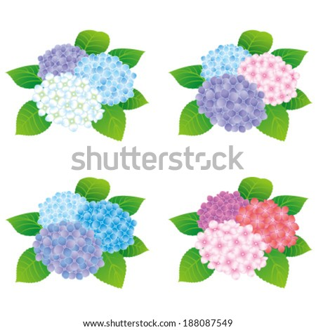 colorful hydrangea flowers, isolated on white background. - stock vector