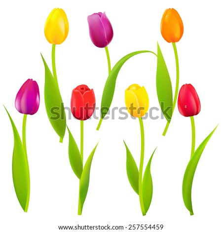 Colorful Tulips With Gradient Mesh, Vector Illustration - stock vector