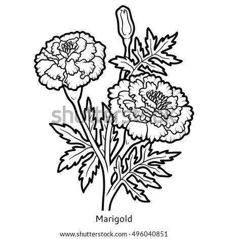 Marigold Botanical Illustration Sketch Coloring Page