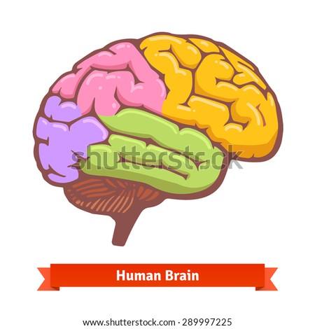 Coloured human brain diagram. Flat vector illustration. - stock vector