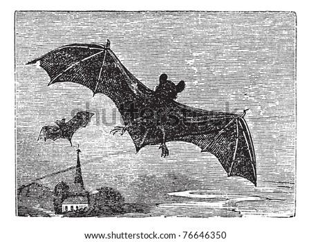 Common Bat or Vesper Bat or Evening Bat or Vespertilionidae, vintage engraving. Old engraved illustration of a Vesper Bat in flight. Trousset encyclopedia. - stock vector