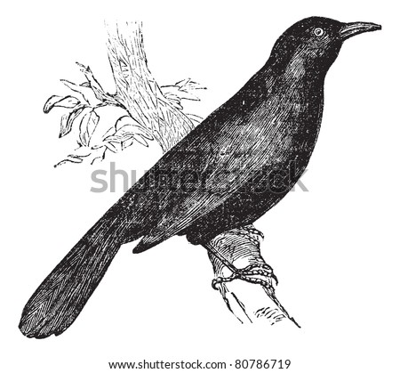 Common blackbird (Turdus merula) or Eurasian Blackbird perched on branch, vintage engraved illustration. Trousset encyclopedia (1886 - 1891).