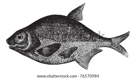 Common bream, bronze beam, carp beam, freshwater beam or Abramis brama fish vintage engraving. Old engraved illustration of a Common bream isolated against a white background . Trousset encyclopedia