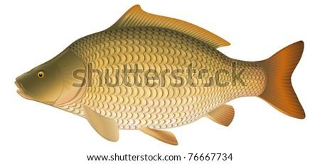 "Common Carp (Cyprinus carpio), European freshwater fish. ""Full compatible. Created with gradients."" - stock vector"