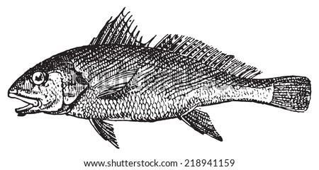 Common Croaker, vintage engraved illustration. Dictionary of words and things - Larive and Fleury - 1895. - stock vector