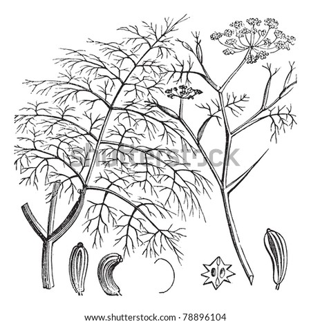 Common Fennel or Foeniculum vulgare, vintage engraving. Old engraved illustration of a Common Fennel showing seeds (bottom).  Trousset encyclopedia (1886 - 1891) - stock vector
