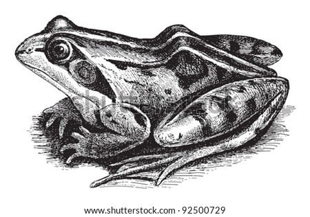 Common Frog (Rana temporaria oxyrrhinus) / vintage illustration from Meyers Konversations-Lexikon 1897 - stock vector