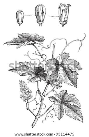 Common Grape Vine (Vitis vinifera) / vintage illustration from Meyers Konversations-Lexikon 1897 - stock vector
