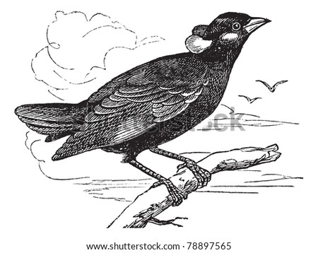 Common Hill Myna or Gracula religiosa or Mynah or Hill Myna, vintage engraving. Old engraved illustration of Common Hill Myna waiting on a branch. Trousset encyclopedia (1886 - 1891) - stock vector