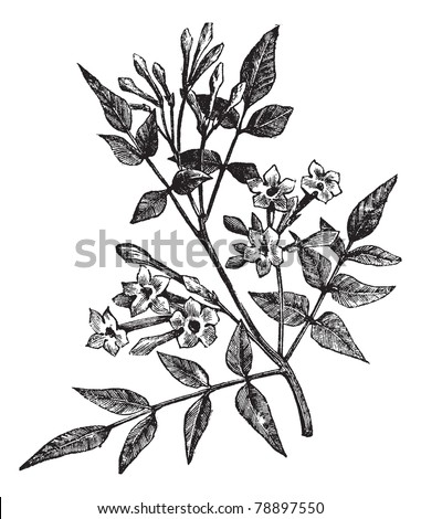 Common Jasmine or Jasminum officinale or Poet's Jasmine or Jessamine, vintage engraving. Old engraved illustration of Common Jasmine isolated on a white background. Trousset encyclopedia (1886 - 1891) - stock vector