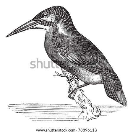 Common Kingfisher or Alcedo ispida, vintage engraving. Old engraved illustration of Common Kingfisher waiting on a branch.  Trousset encyclopedia (1886 - 1891). - stock vector