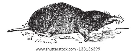 Common Mole or Eastern Mole or Scalopus aquaticus, vintage engraved illustration. Dictionary of Words and Things - Larive and Fleury - 1895 - stock vector