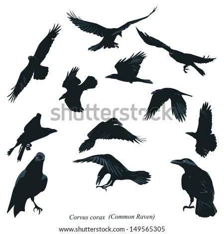 Common Raven Illustration - stock vector