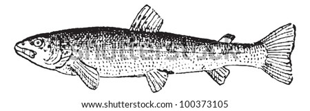Common Trout or Salmo trutta, vintage engraved illustration. Dictionary of Words and Things - Larive and Fleury - 1895 - stock vector
