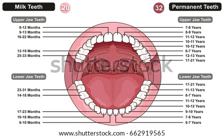 Comparison between milk permanent teeth infographic stock vector comparison between milk and permanent teeth infographic diagram showing at which age kids and adults teething ccuart Image collections